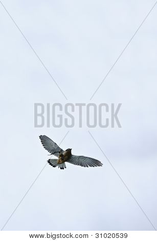 Male Kestrel Bird Of Prey Raptor During Falconry Display