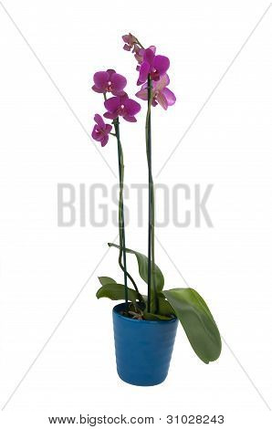 Phalaenopsis Flowers In A Pot (full View)