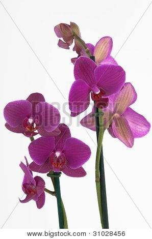 Phalaenopsis Flowers (closeup) - View 2