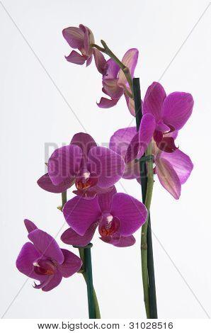 Phalaenopsis Flowers (closeup)