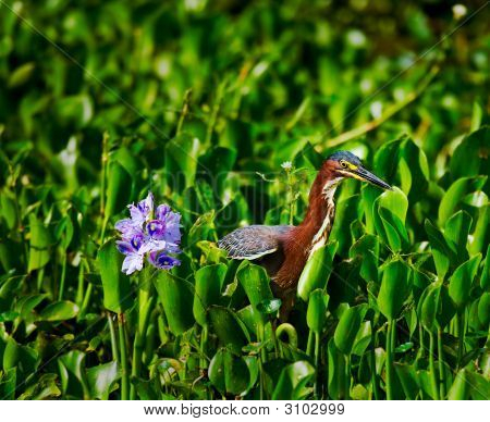 Heron And Hyacinth