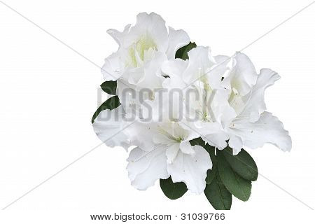 Branch Of White Azalea Flowers  isolated On White