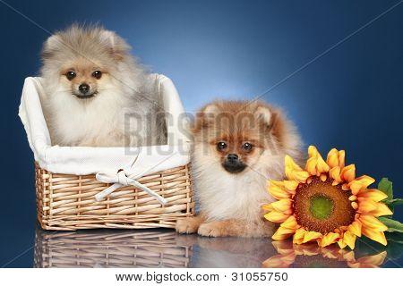 Spitz Puppies (5 Months) In Wicker Basket