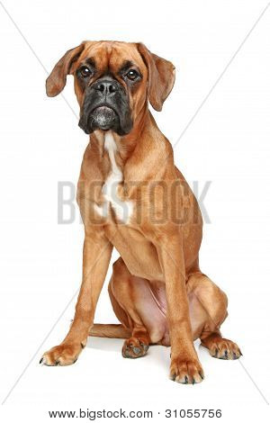 German Boxer Puppy Sitting On A White Background