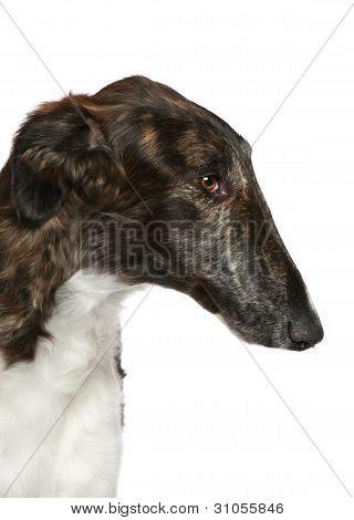 Russian Borzoi. Head Profile Close-up Portrait