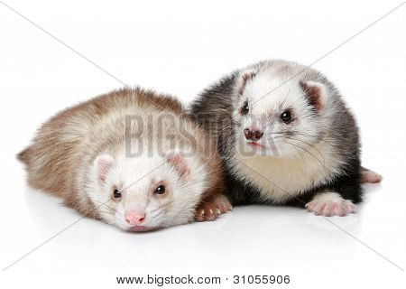 Two Polecat Resting On A White Background