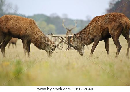 Red Deer Stags Jousting With Antlers In Autumn Fall Forest Meadow