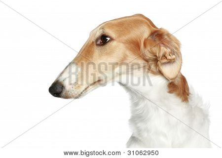 Russian Borzoi - Wolfhound Dog. Head Profile Close-up Portrait