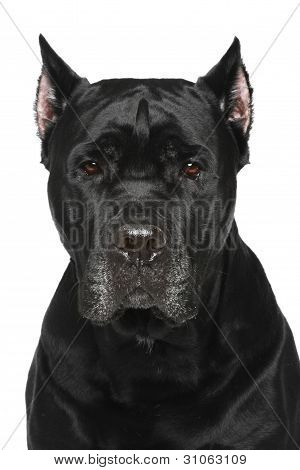 Cane Corso Italiano. Portrait On White Background