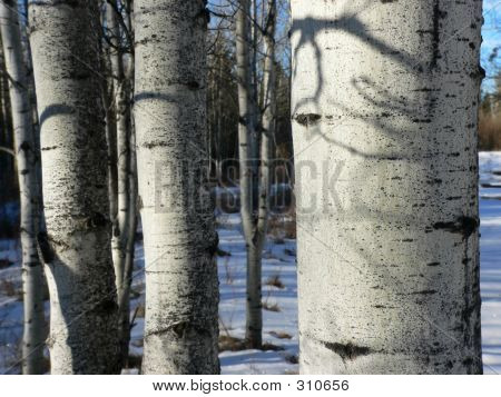 Winter Aspens Up Close