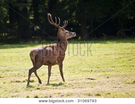 Beautiful Red Deer Stag During Rut Season In Autumn Fall