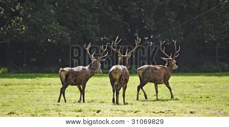 Trio Of Red Deer Stags Prowling For Females During Rut Season In Autumn Fall