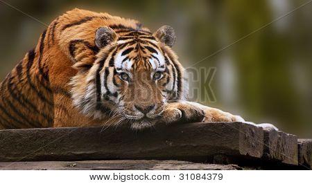 Bella imagen conmovedora de tigre tendido con la cabeza en las patas