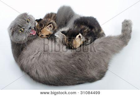Mother Cat Breastfeeding Her Kittens