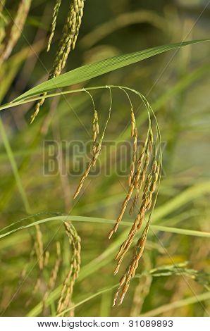 Mature rice plant