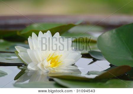 Weißer Lotus im Pott