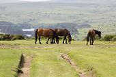 The Dartmoor Pony Is Breed Of Pony That Lives On Dartmoor England. It Has Been There For Centuries A poster