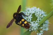 Megascolia Maculata. The Mammoth Wasp. Scola Giant Wasp On A Onion Flower. Scola Lat. Megascolia Mac poster