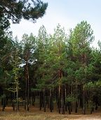 Pine Forest. Spruce Forest. Coniferous Trees. Evergreen Trees. Landscape. poster