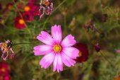 Cosmos Flower., Blooming Cosmos Flowers., Beautiful Spring Cosmos Flower Background. poster