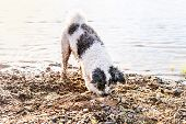 Bichon Frise Dog On The Walk Playing. Adorable Mixed Breed Bichon Or Bolognese Dog Digging Sand Next poster