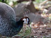 foto of peahen  - Close up shot of a peahen  - JPG