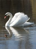 White Handsome - Mute Swan.