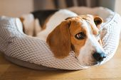 Dog Beagle Breed At The Age Of 4 Years Old, The Male Sleeps On The Dog Bed With Head On Carpet poster