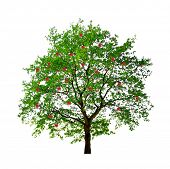 picture of apple tree  - apple tree isolated on white background - JPG