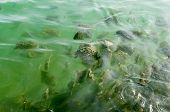 Black Striped Fishes Seawater Fishes Swimming In The Green Waters Of Dwarka Gujarat India poster