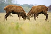 picture of jousting  - Jousting fighting red deer stags clashing antlers in Autumn Fall forest meadow - JPG