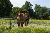 A Pair Of Brown Horses Standing Side By Side Behind A Barbed Wire Fence Surround Their Ranch Pasture poster