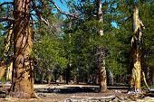 High Altitude Pine Trees Called The Twisted Pines Taken At An Evergreen Forest In The Rural Sierra N poster