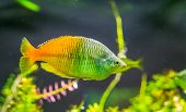 Boesemani Rainbow Fish In Closeup, Colorful And Popular Pet In Aquaculture, Tropical And Endangered  poster