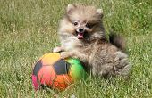 Pomeranian puppy small dog plays with ball poster
