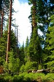 Alpine Meadow Besides Pine Trees Taken At An Evergreen Forest In The Rural Sierra Nevada Mountains,  poster