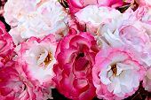 foto of white roses  - A bunch of pink and white floribunda roses - JPG