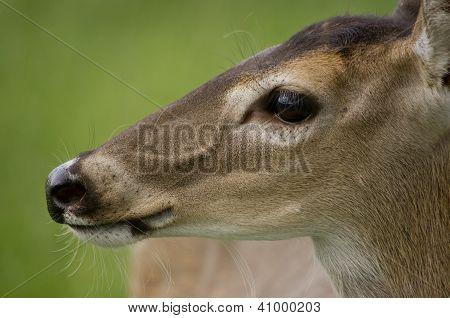 Small Whitetail Doe