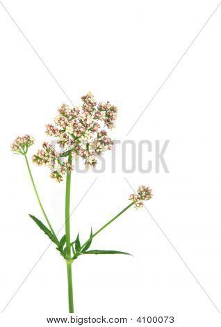 Valerian bloem