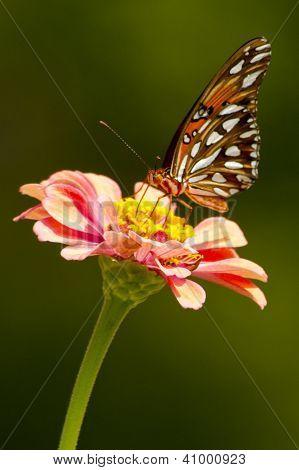 Butterfly on Zenia