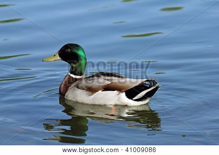 mallard on the lake