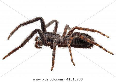 Black Spider Species Tegenaria Sp