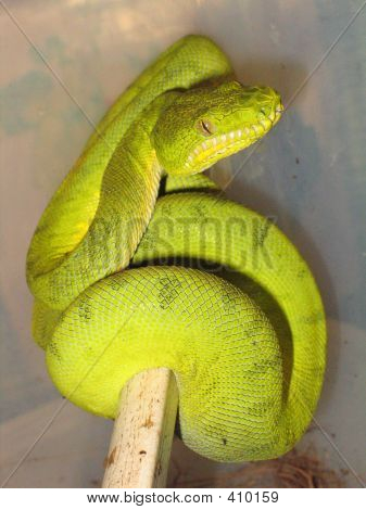 Emerald Tree Boa (atypical Coloration)