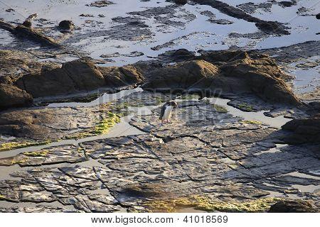 Yellow Eyed Penguin On Rocks