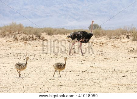 African Ostrich And Ostrich Chick