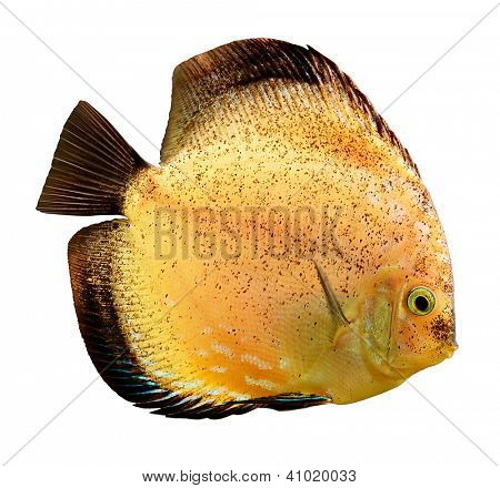 Discus fish (Symphysodon) isolated on white