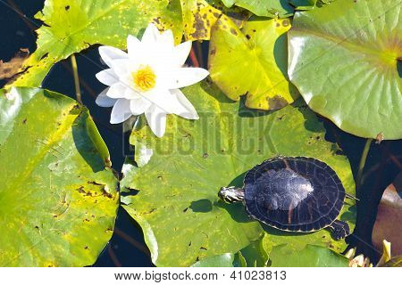 Snapper And Water Lily
