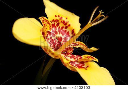 Tigridia Flower
