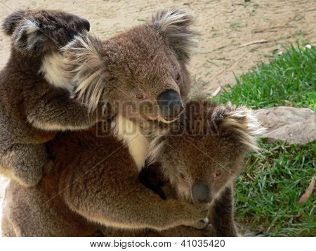 Koala-Familie
