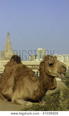 Camel Relaxing In Front Of A Mosque